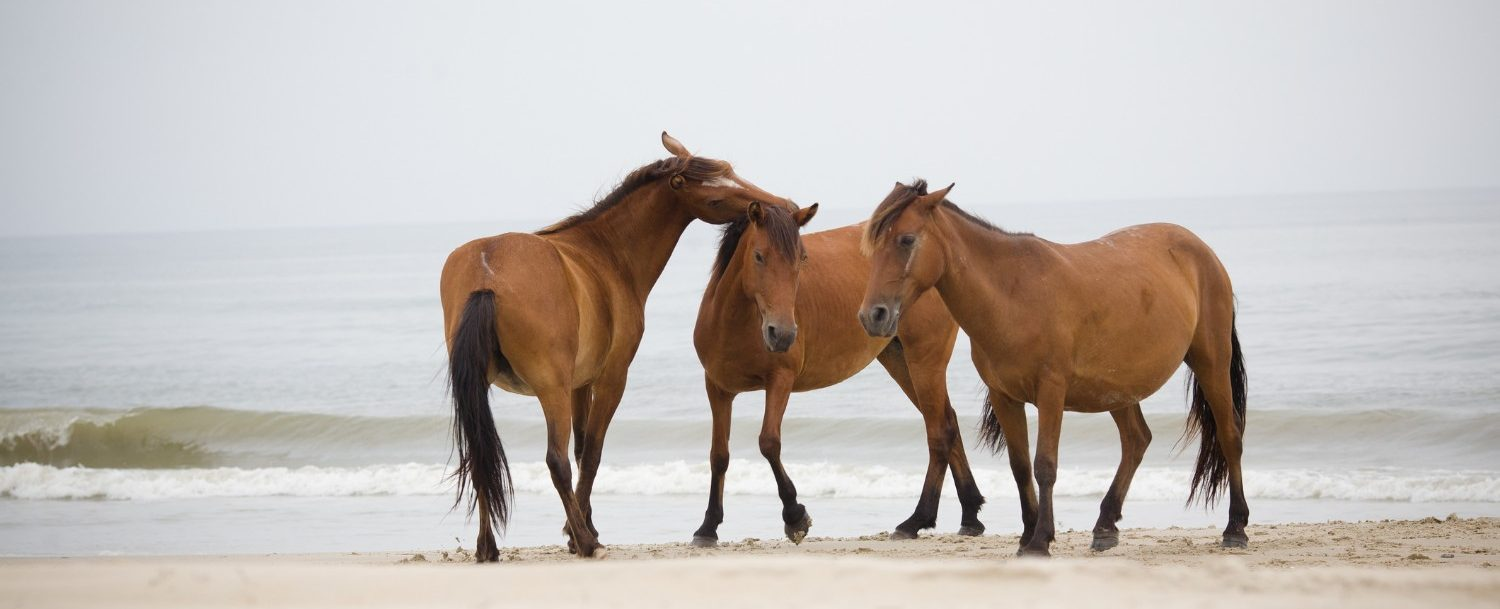 majestic outer banks wild horses playing on the beach