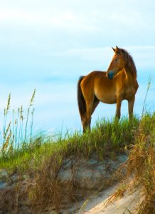 A wild horse on the beach on the Outer Banks of North Carolina.