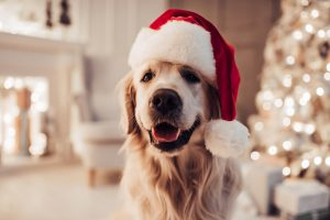 Merry Christmas and Happy New Year! Cheerful dog is sitting in Santa Claus hat. Golden retriever is waiting for the holiday at home.