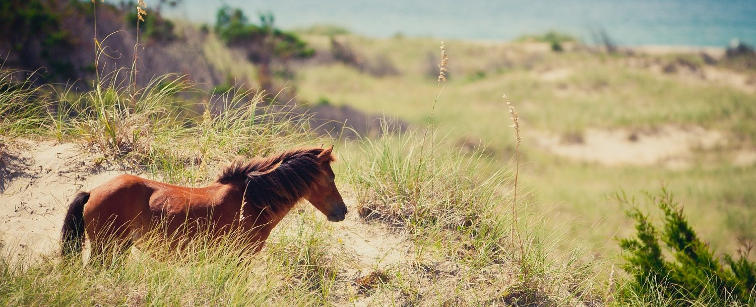 Here are the best Outer Banks wild horse tours.