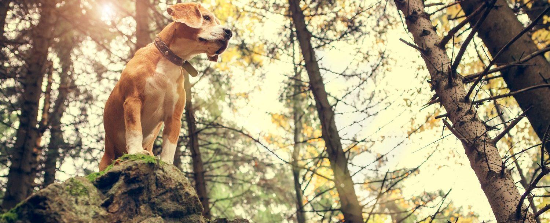 dog hiking on boulder