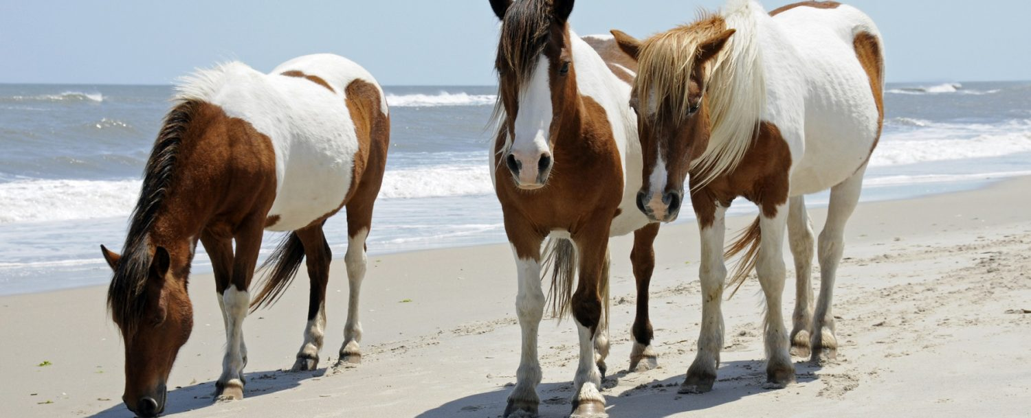 horses on beach, pittsburgh to outer banks