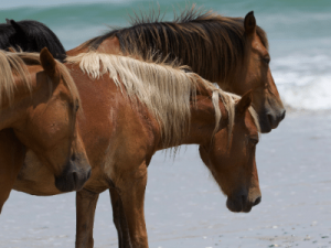 horses on the outer banks